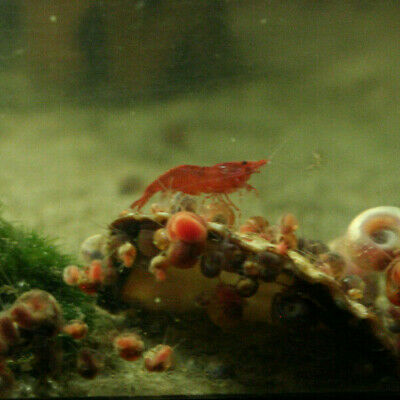 10 Neocaridina Dwarf Red Cherry Shrimp - Freshwater Shrimp - Great Cleaners!