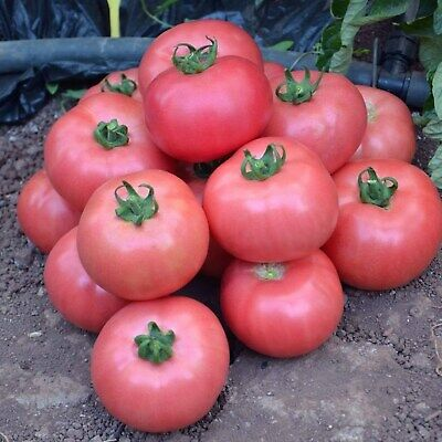 Tomato Seeds - Volgograd Pink - Organically Grown Russian Heirloom Vegetable
