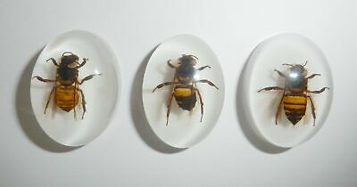 Insect Cabochon Honey Bee Apis mellifera Oval 18x25 mm on white 3 pieces Lot