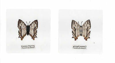 Laminated Common Mapwing Cyrestic thyodamas Butterfly Specimen 110x110 mm Sheet