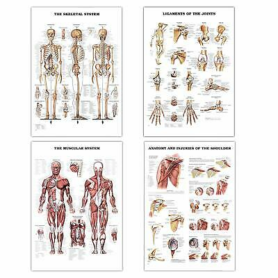 Set of 4 Muscular Skeletal System Anatomical Laminated Medical Posters 17x24