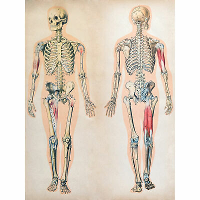 Human Body Anatomy Skeleton Muscles Art Print Poster Wall Décor 18X24 Inch