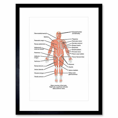 Science Anterior View Muscles Anatomy Framed Art Print Poster 12x16 Inch