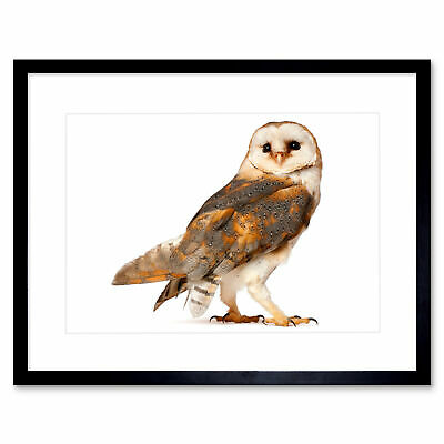 Photo Barn Owl Alba Bird Pray Framed Print 12x16 Inch