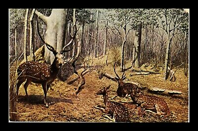 Us Postcard Majestic Axis Deer Chicago Natural History Museum