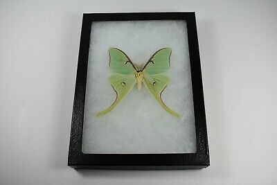 Actias Luna Moth Moth Male North American Riker Mount Framed Display