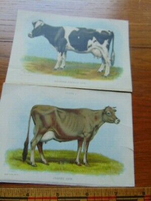 2 antique prints of cows- Jersey and Holstein-Fresian- early 1900s