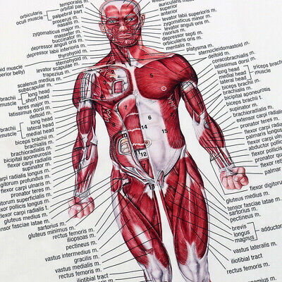 Muscular System Human Chart Muscle Anatomy Diagram Body Educational Poster S4N8A