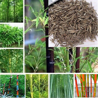 Lots 1000Pcs Seeds Phyllostachys Pubescens Moso-Bamboo Seeds Garden Plants Decor