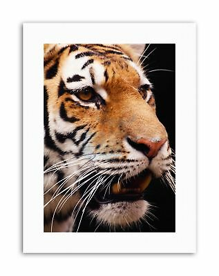 POSTER PRINT GIANT PHOTO NATURE BIG CAT TIGER FACE PROFILE STRIPES COOL PAMP068