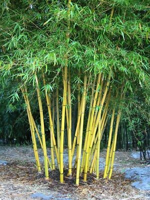 burmese timber Bamboo Seeds - Bambusa Nutans - 20 Seeds