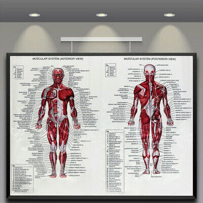 Muscular System Human Chart Muscle Anatomy Chart Body Educational Poster E9V7Z