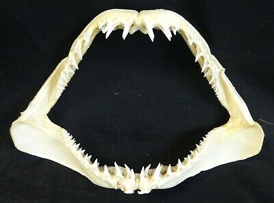 "Large 15"" Mako Shark Jaw with All the Teeth!"