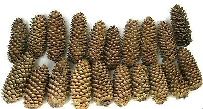 """Pine Cones Dry 5""""-6"""" Tall 2""""-3"""" Around - Lot of 20"""