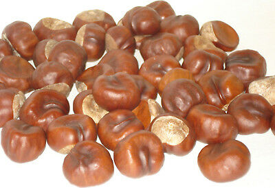 Anti Spider Repeller 40 Real Horse Chestnuts Conkers, Insect Repellent Eco Home
