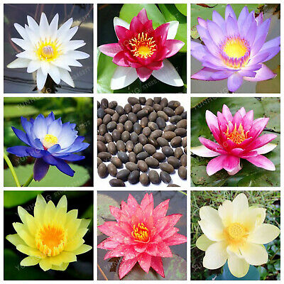 Nymphaea pubescens Hairy White Water Lily Flower Seeds Aquatic Pond or Aquarium