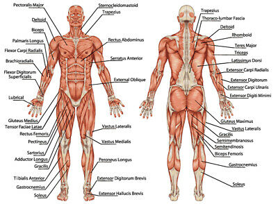 Anatomy of male muscular system Quality Poster 91x61cm  educational
