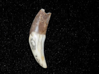 Authentic Pre-Columbian Canine Tooth Pendant Bead, Costa Rica