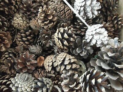 Pine Cones and seed heads various sizes and shapes