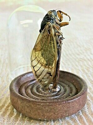 CLD  Taxidermy Locust Cicada Glass Dome Display entomology insect bug specimen