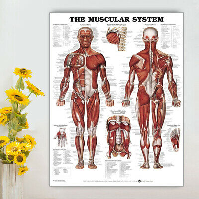 Human Body Muscle Anatomy System Poster Anatomical Chart Educational Poster New