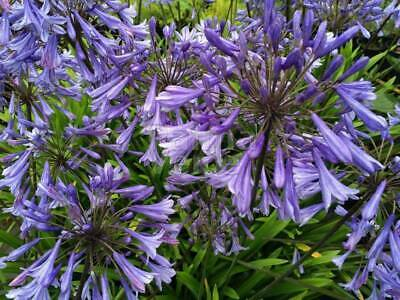 AGAPANTHUS Agapanthe  Dr Brouwer  15 Seeds 15 Zaden 15 Graines  2019