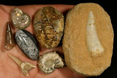 FOSSIL PACK 228g 7 Natural Fossils 2x Ammonite Trilobite Mosasaurus Shark Tooth