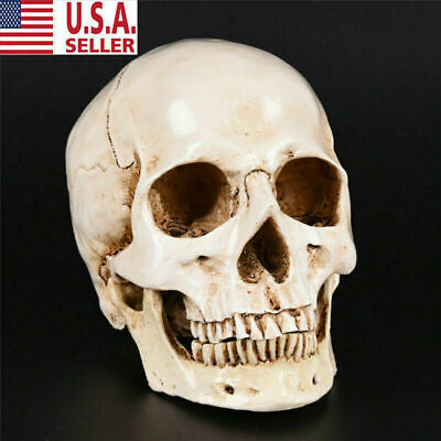 Life Size Resin Human Skull 1:1 Model Anatomical Medical Teaching Skeleton head