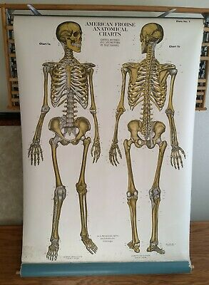 1918 Skeletal Frohse Anatomical Chart Human Skeleton Front / Back View Plate #1