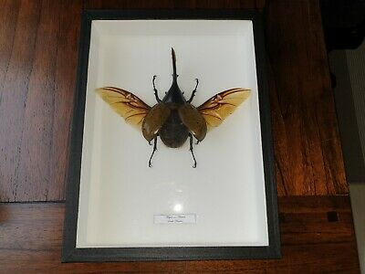 Megasoma Actaeon - Stuffed insect (South-America) in glass frame