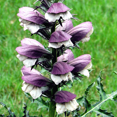 Acanto PLAT FIRM Acanthus 5 Seeds