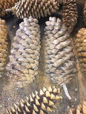 Sugar Pine Cones 17'' From The Beautiful Lassen Mountain Area 10 In Total