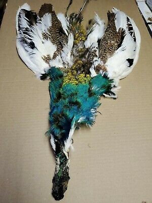 Pied Blue Indy Peacock Cock Neck Pelt Hide Saddle Wing Skin Feathers PC3