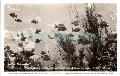 Photo PC - Silver Springs, FL - Fish at Silver Springs Court Hotel - 1950s era