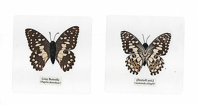 Laminated Common Lime Papilio demoleus Butterfly Specimen in 110x110 mm sheet
