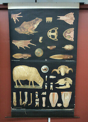 Vintage Pull Down School Science Poster Sheep & Frog Denoyer Geppert Germany