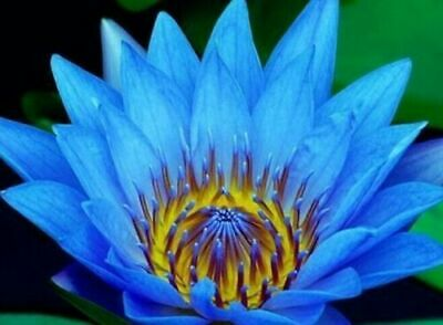 Quality 5 Pcs BLUE LOTUS Nymphaea Caerulea seeds Asian Water Lily Pad Flower Pon