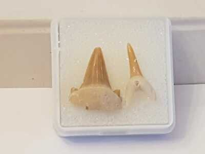 S.V.F Fossil Shark Teeth In Display Case 50 Million Years old Morocco