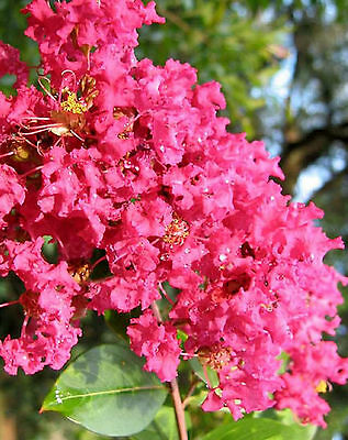 LILAS DES INDES  ROSE   Lagerstroemia Petite Orchid