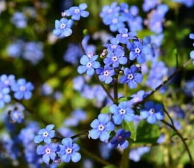Forget Me Not Seeds 200+ pcs
