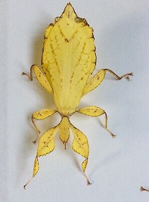 Yellow Phyllium Philippinicum Leaf Stick Insect Eggs X 15