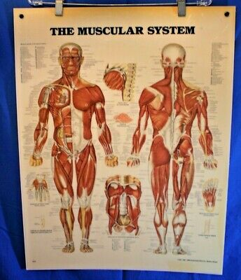 Vintage 80's The Muscular System Anatomy Hard Poster Anatomical Chart Company