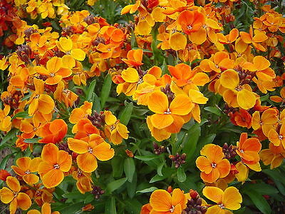 Scented wallflower from our childhood Cheiranthus 1 gram 1000+ Seeds