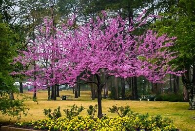 Htf Forest Pansy Redbud Cercis Canadensis Tree Live 3 4 Ft Tree