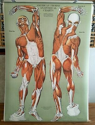 Muscular System Chart # FA 2 By A.J. Nystrom Copyright Date 1918