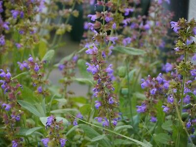 Clary Sage 1g Approx 250 Seeds untreated Salvia sclarea Perennial