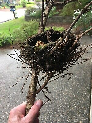Real Robin's Nest Natural Abandoned. Mud, Grass And Twigs. Wind Fall. On Limb!