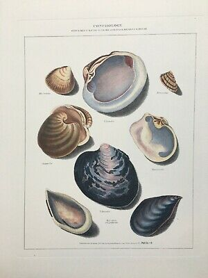 Hand coloured Shell Print Conchology