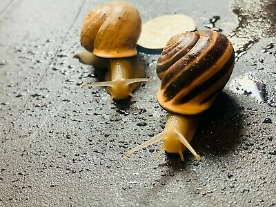 (2) Live Land Milk Snail Otala Lactea PAIR XL QuarterBigger,Breeder,Pet,Fun, Edu