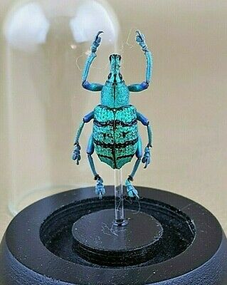 H20f Entomology Taxidermy BlacK & Blue snout Beetle Glass Dome Display oddities